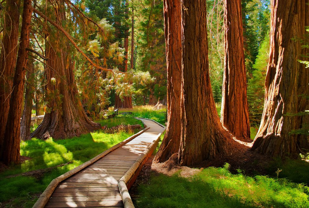 Sequoia trees and a winding path in California.