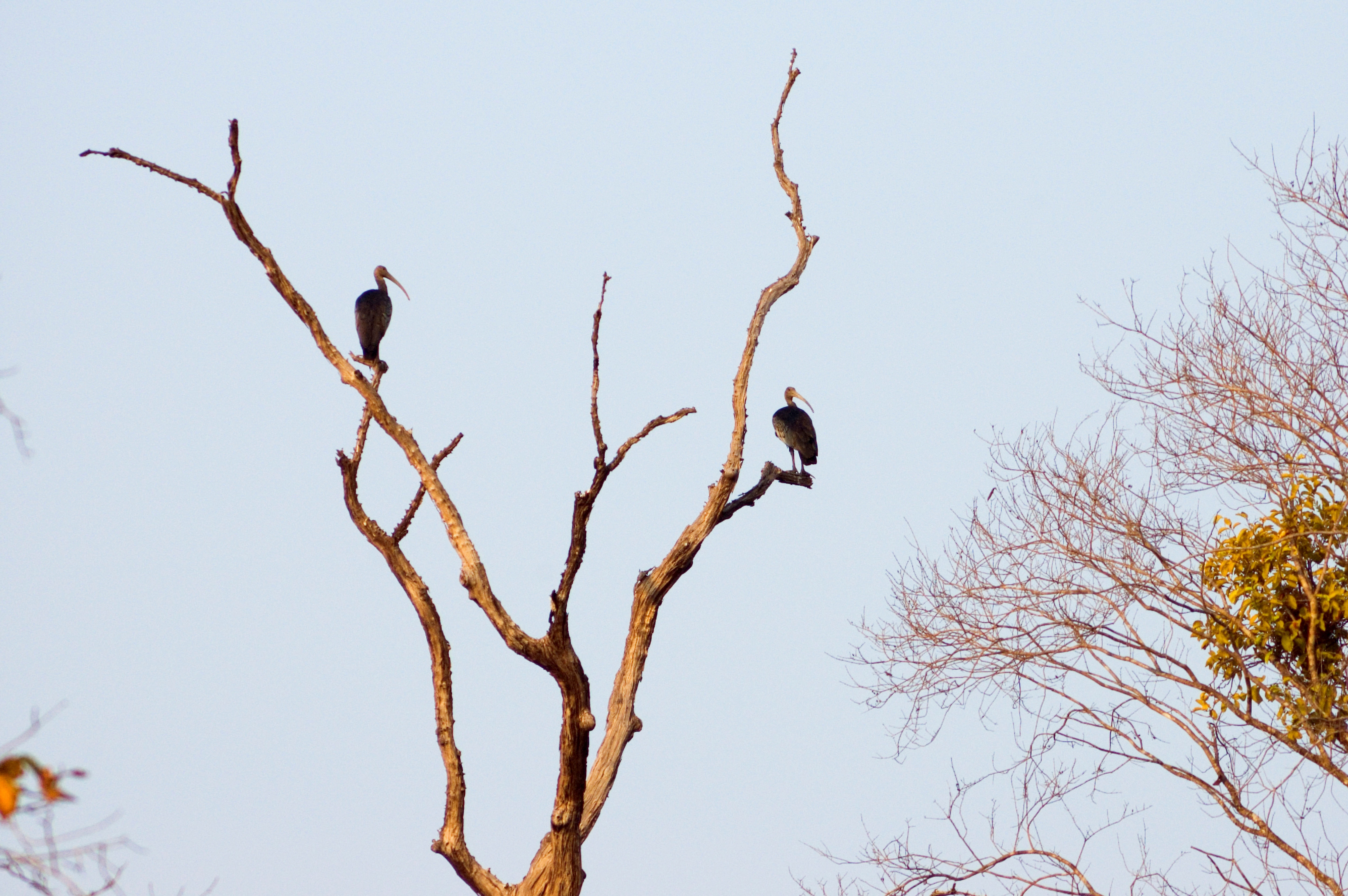A pair of rare ibises in a tree in Cambodia in 2007