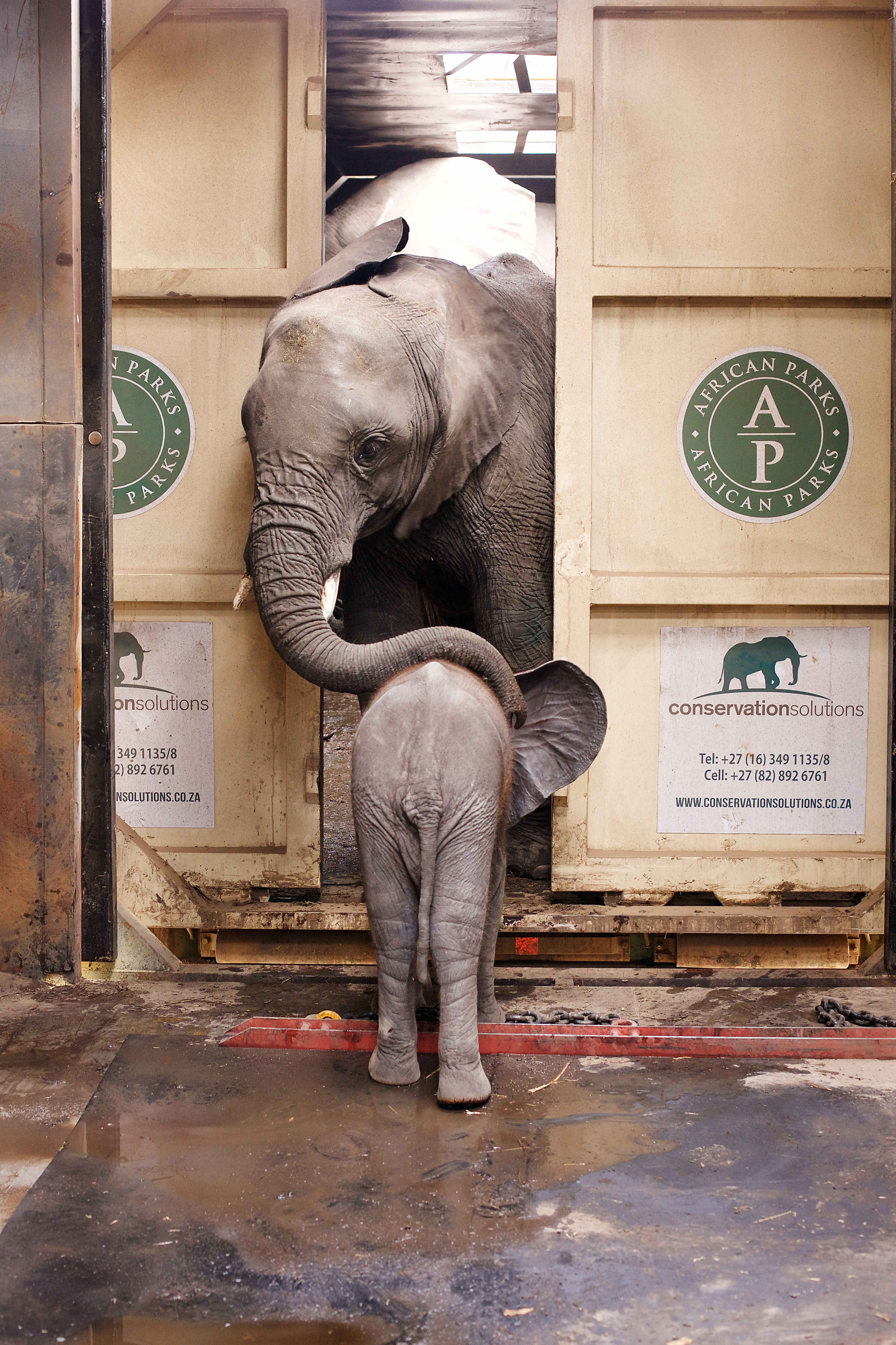 An elephant and a baby elephant were relocated by African Parks.