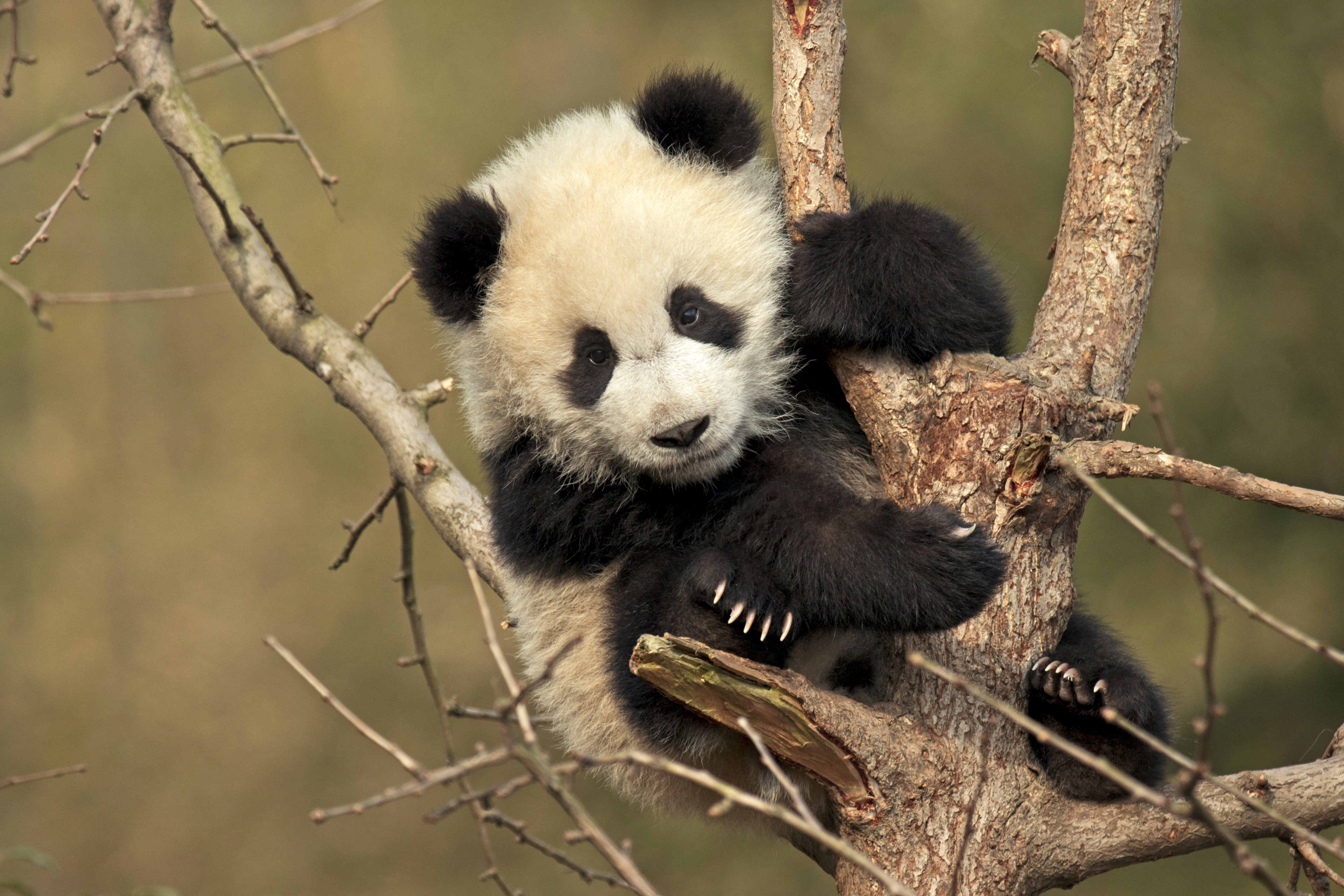 Watch As Adorable Baby Panda Wrestles With A Tree He Is