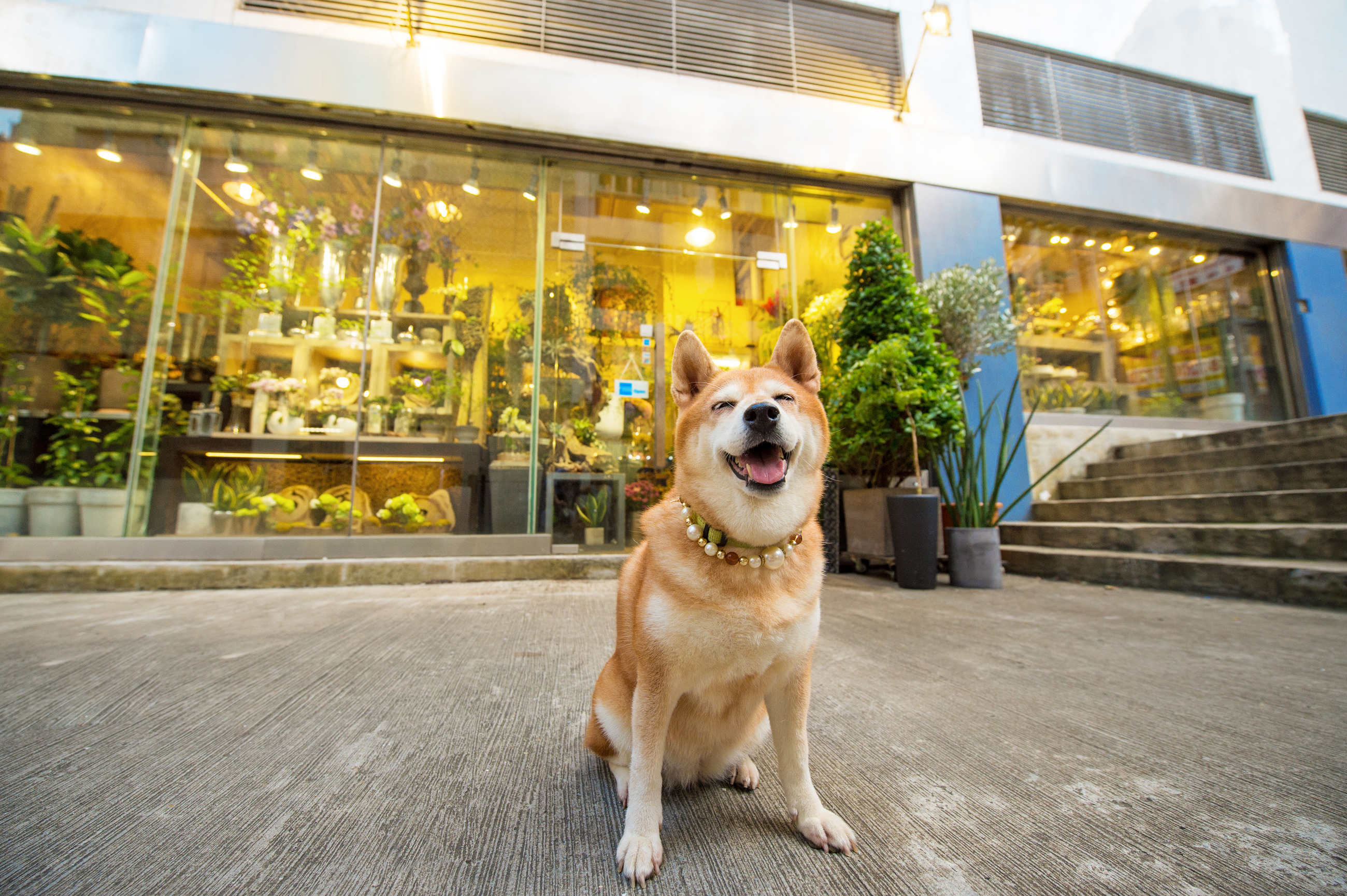 Yobi the Shiba Inu smiling for the camera in Old Town Central, Hong Kong.