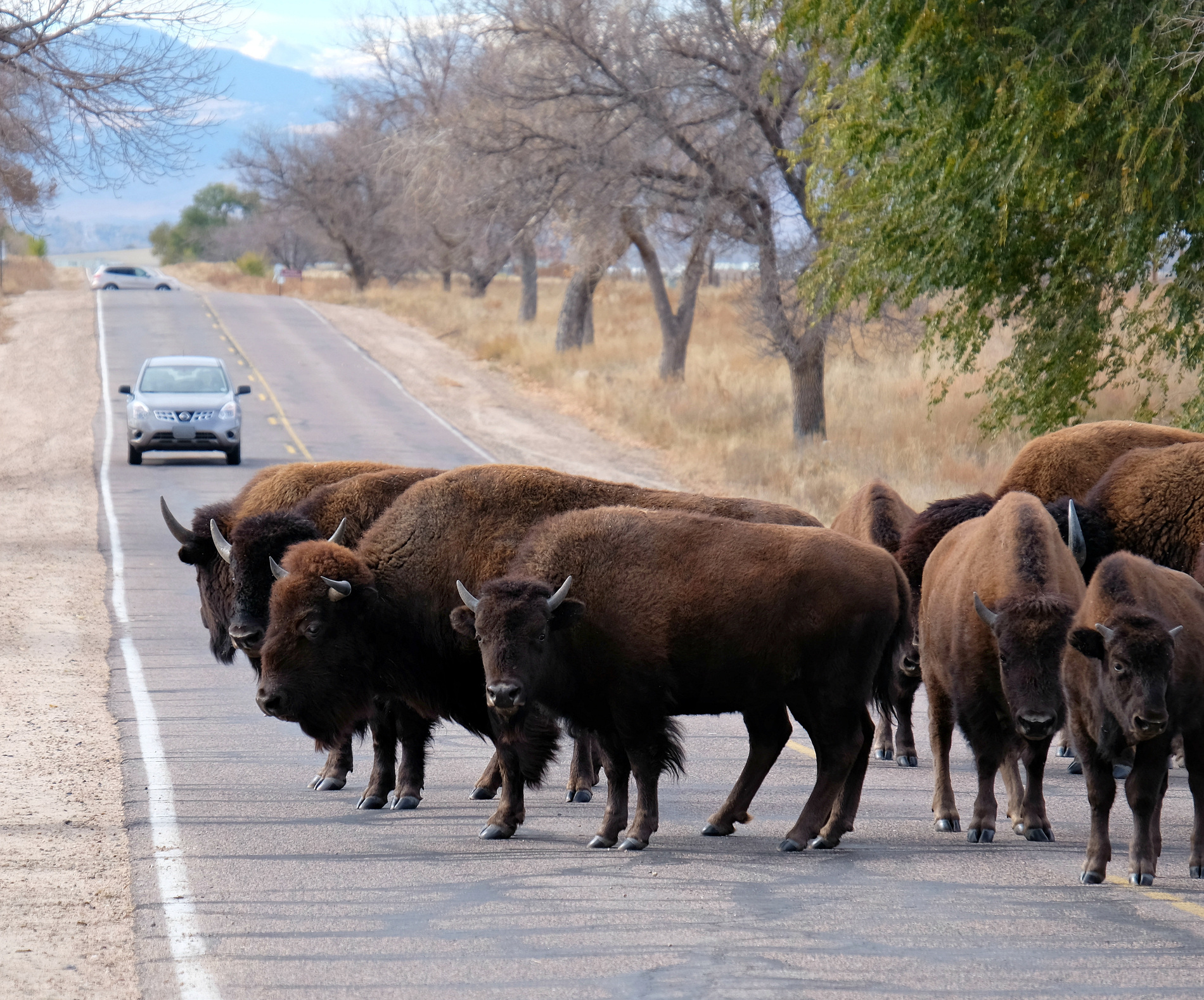 American Bison stand on a road, with passenger cars carrying visitors, in the Rocky Mountain Arsenal National Wildlife Refuge, near Denver, Colorado. Bison are also known as buffalo and the Latin term is Bison bison.