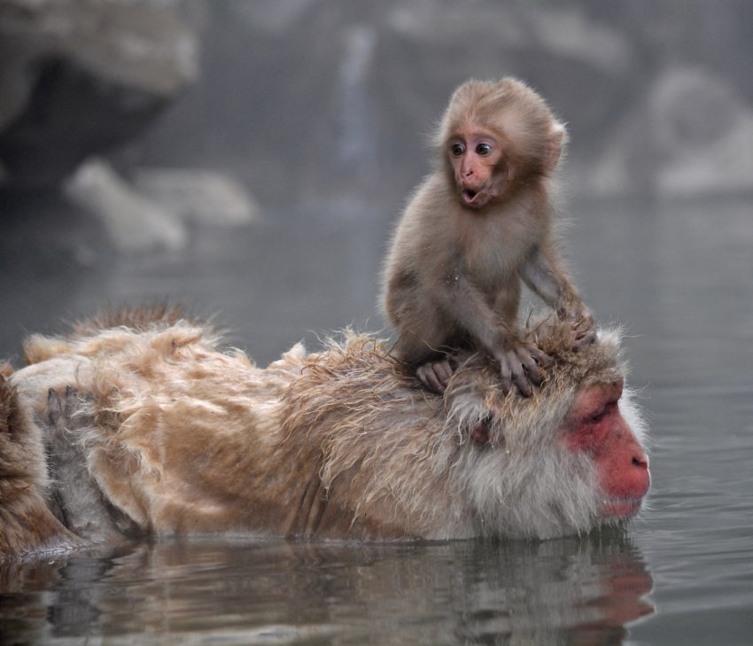 Scientists discover why Japanese snow monkeys like a long ... - photo#19